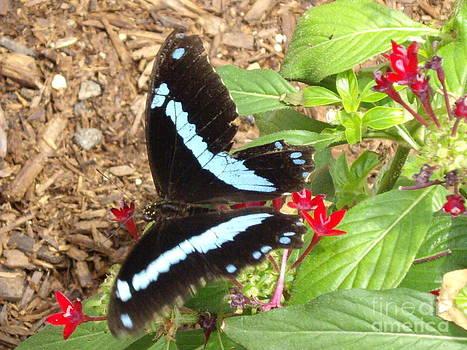 Papillio palinurus butterfly by Barbara Lightner