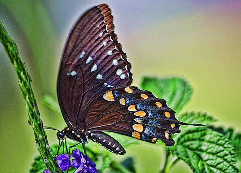 Joe Bledsoe - Papillon