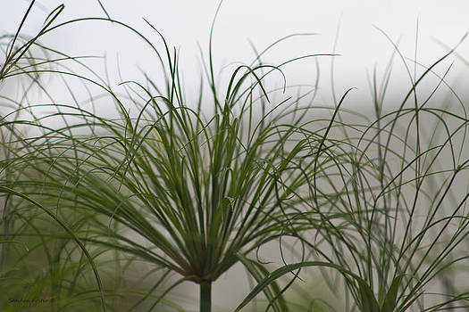 Sandra Foster - Papyrus In The Fog