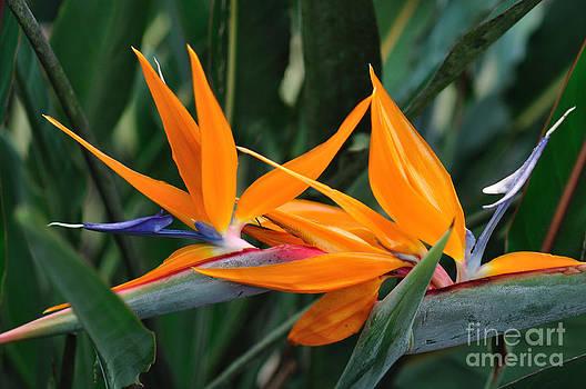 Wayne Nielsen - Paradise Flower Orange - Bird of Paradise in Brilliant Twins
