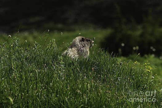 Tim Moore - Paradise Meadow Marmot