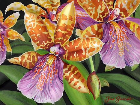 Jane Girardot - Paradise Orchid