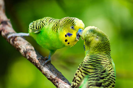 Gaurav Singh - Parakeets