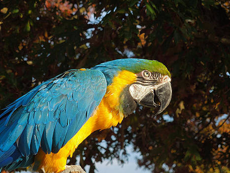Mike Shaw - Parrot