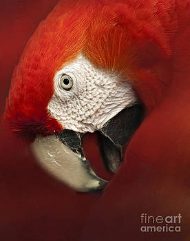 Parrot Portrait by Pam  Holdsworth