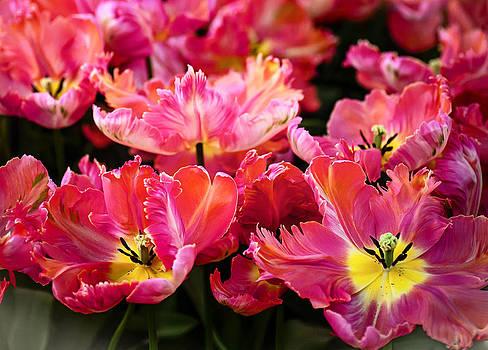 Jenny Rainbow - Parrot Tulips. The Tulips of Holland