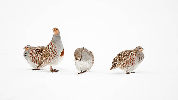 Partridge On Snow by Daniel Forget