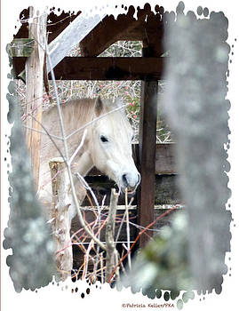 Paso Fino Stallion Close-Up by Patricia Keller
