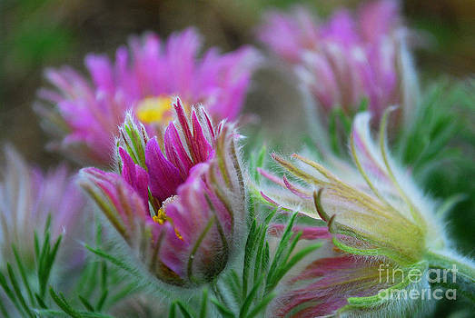 Pasque Flower by Anne Gordon