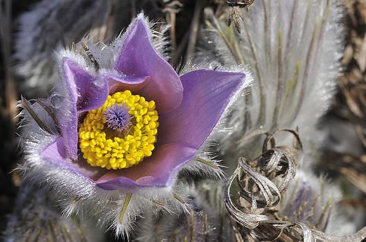 Pasque flower Pulsatilla halleri by Matthias Hauser