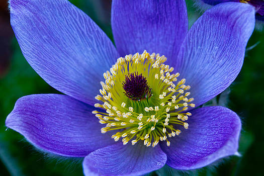 Pasque Flower by Sally Hanrahan
