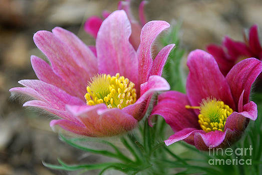 Pasque Flower2 by Anne Gordon