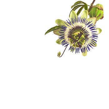 Jan Hagan - Passion Flower