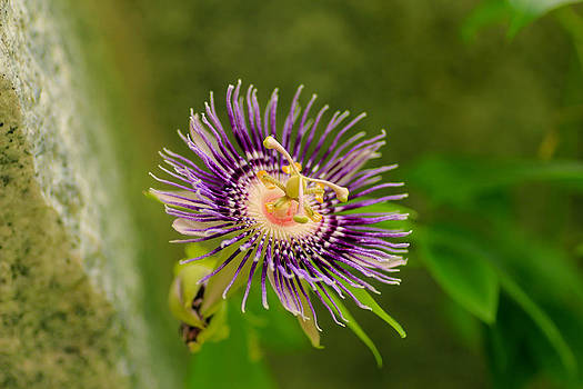 Passion flower Passiflora by Loganathan E