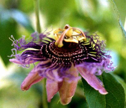 Stephen Proper Gredler - Passion Flower