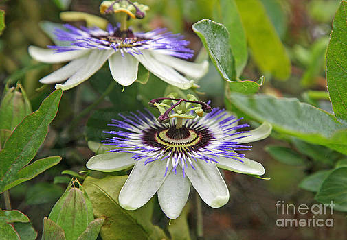 Passion Flowers by John Keates