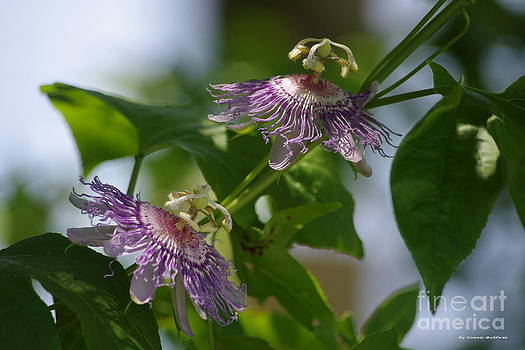 Passion flowers by Tannis  Baldwin
