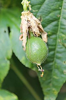 Passion Fruit Birth by Sarah E Kohara
