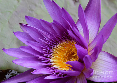 Sabrina L Ryan - Passionate Purple Water Lily