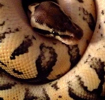 Pastel Ball Python Male by Sierra Andrews