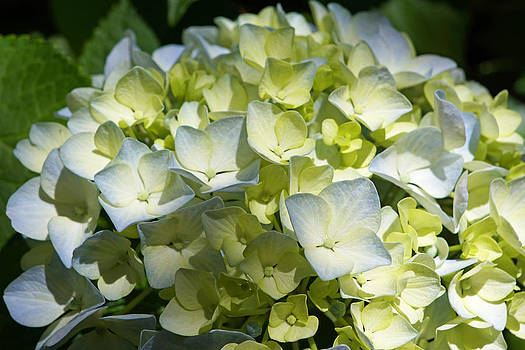 Baslee Troutman - Pastel Blue White Green Hydrangea Flowers
