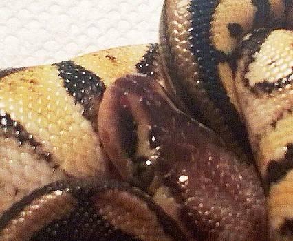 Pastel Het Ghost Ball Python Snake 2 by Sierra Andrews