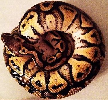 Pastel Het Ghost Ball Python Snake 3 by Sierra Andrews