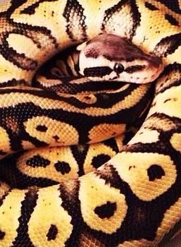 Pastel Het Ghost Ball Python Snake by Sierra Andrews