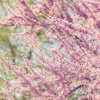 Lisa Russo - Pastel Pink Flowers of Redbud Tree in Springtime