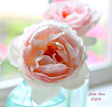 Pastel Pink Rose by Janet Moss