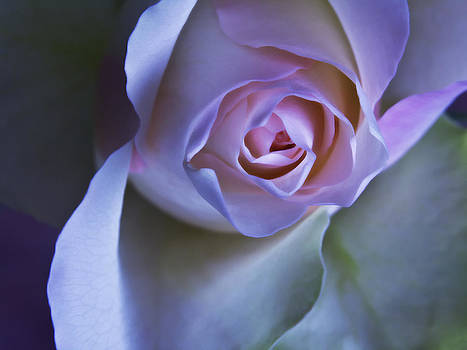 Pastel Pink Rose - Macro Flower Photograph by Artecco Fine Art Photography
