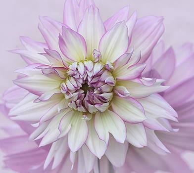 Kim Hojnacki - Pastel Purple Dahlia