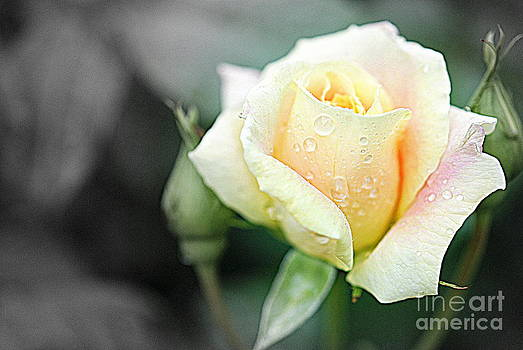 Pastel Rose by Christy Phillips