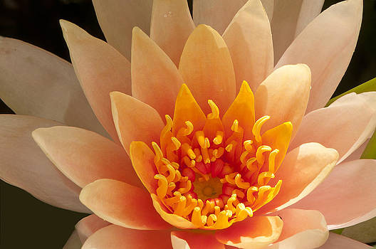 Pastel Waterlily by Phyllis Peterson