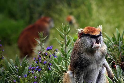 Patas Monkey by Kyle Simpson