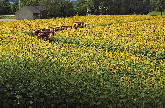 Path Through the Sunflowers by Nancy De Flon
