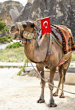 Kantilal Patel - Patriotic Camel