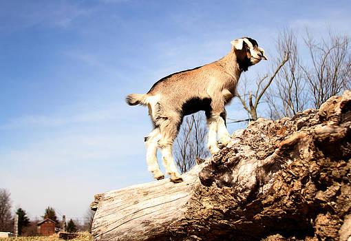 Paul's Goat by David Yocum
