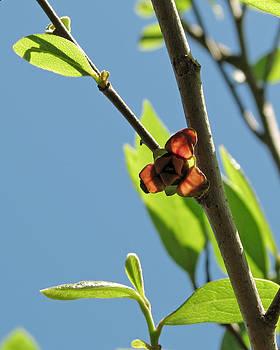 Peg Urban - Pawpaw Blossom