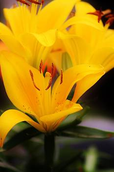 Peace and Daylilies by Tami Rounsaville