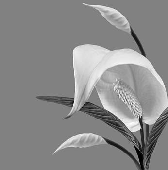 Nina Bradica - Peace Lilies-4