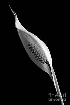 Peace Lilly in Bloom by John Basford