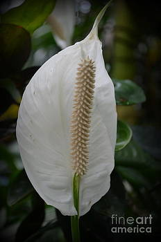 Peace Lily 1 by Janet Davaros