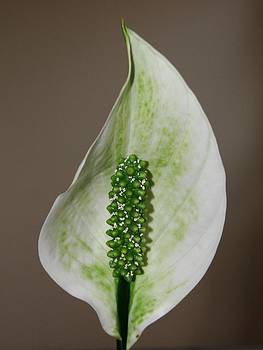 Dawn Hagar - Peace Lily