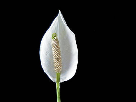 Peace Lily by Steven Huszar
