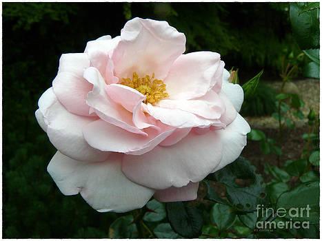 Dee Flouton - Peace Rose