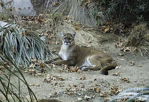 Mae Wertz -  Bobcat