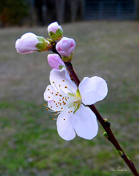 Peach . First Spring Flower by Pete Trenholm