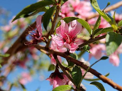 Peach Blossom II by Abril Gonzalez