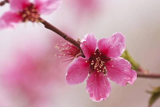 Peach Blossom In Pink by Qing